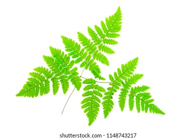 Common oak fern (Gymnocarpium dryopteris) leaves isolated on white background.