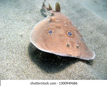 common or ocellate torpedo torpedo electric ray cartilaginous fish swims just touching the sand