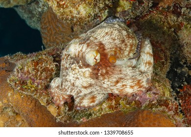 Common Octopus (Octopus vulgaris) on a coral reef - Bonaire