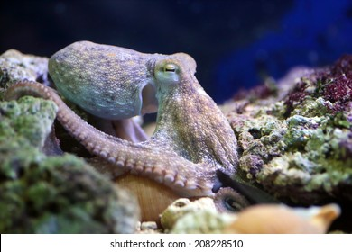 A common octopus, Octopus vulgaris, is resting on a reef. This molluscs can be found in the Mediterranean Sea and in the Atlantic Ocean
