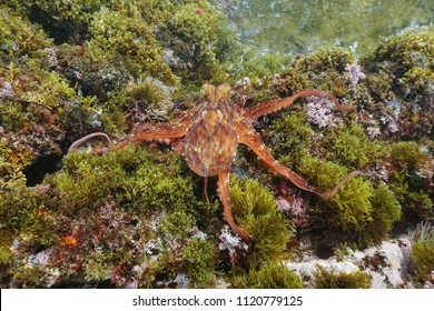 A Common octopus, Octopus vulgaris, underwater on rock with algae in the Mediterranean sea, Cote d'Azur, France