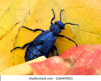 Common oil beetle or blister beetle, Meloe cavensis (Coleoptera: Meloidae). Autumn. Common oil beetle on the yellow-red fallen leaves