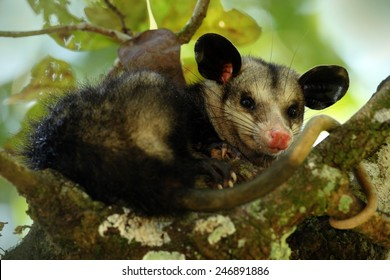 Common Opossum, funny animal hidden in the tree.
