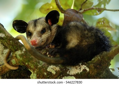 Common Opossum. Wildlife scene from nature. Funny animal from tropical forest. Opossum on the tree, Belize.