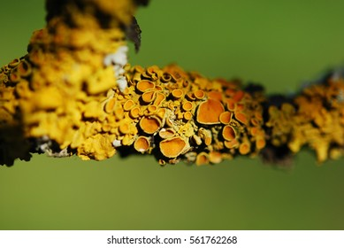Common orange lichen (Xanthoria parietina),