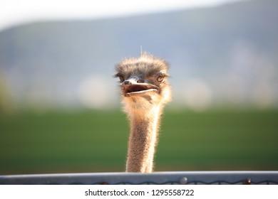 Common Ostrich bird