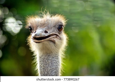Common ostrich bird (Struthio camelus) head top view close-up with nature background.