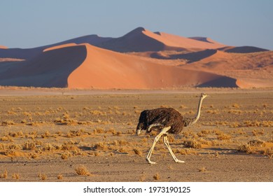 Common Ostrich in front of Sand Dunes in Namib-Naukluft National Park, Sesriem, Namibia