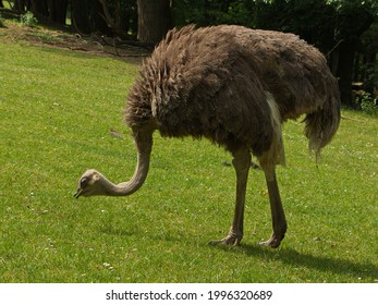 Common ostrich in Safari Park in Dvůr Králové nad Labem, Eastern Bohemia, Czech Republic, Europe  - Shutterstock ID 1996320689