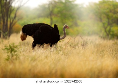 Common ostrich, Struthio camelus, big bird feeding green grass in savannah, Namibia, South Africa. Ostrich in nature habitat, wildlife Africa. Bird with long neck and small head.