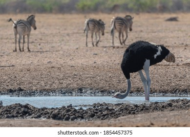 Common ostrich (Struthio camelus) drinking at the waterhole in Etosha national Park