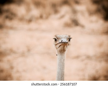 Common ostrich  (Struthio camelus) is either one or two species of large flightless birds native to Africa, the only living member(s) of the genus Struthio, which is in the ratite family