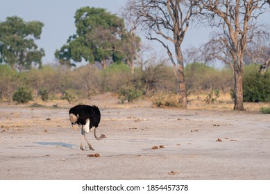 Common ostrich (Struthio camelus) foraging in the dry landscape of Chobe national Park