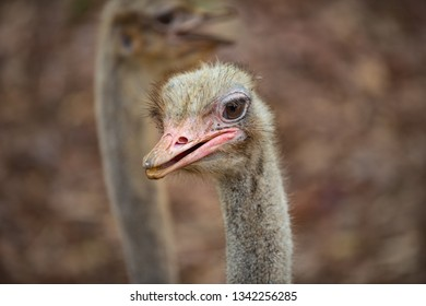 Common Ostrich Struthio camelus Ostrich's head up close