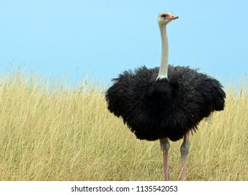 Common ostrich (Struthio camelus) with pink bill, long lashes over black eye, slender white neck and fluffy black feathered body standing on thick legs in field of tall yellow grass under clear sky.