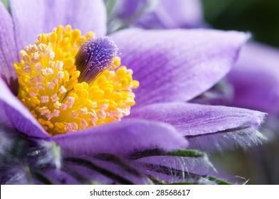 Common Pasque flower or Dane's Blood (Pulsatilla vulgaris)