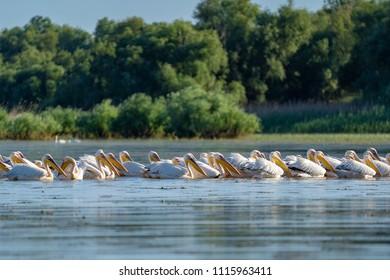 The common Pelican colony at Fortuna Lake in Danube Delta, Romania