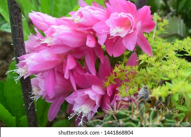 common peony pink flover cactus flover