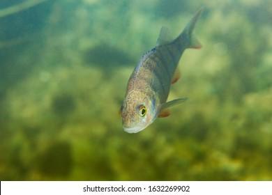 The common perch from Mreznica River, Croatia