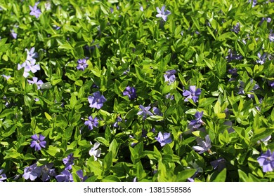common periwinkle in the garden