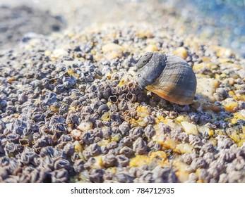 Common periwinkle or winkle, Littorina littorea, over a coastal rock in Galicia, Spain