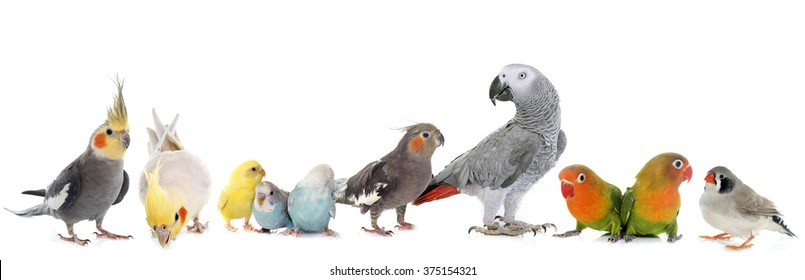 common pet parakeet, African Grey Parrot, lovebirds, Zebra finch and Cockatiel in front of white background