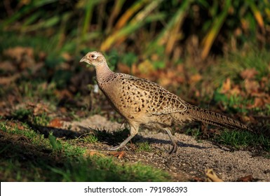 "The common pheasant is a bird in the pheasant family. The genus name comes from Latin phasianus, ""pheasant"". The species name colchicus is Latin for ""of Colchis"" a country on the Black Sea."