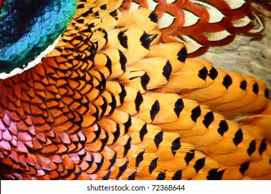 Common Pheasant feathers