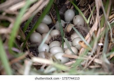 Common pheasant (Phasianus colchicus) nest with eggs hidden in a bush