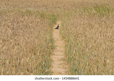 Common pigeon on wheat field road