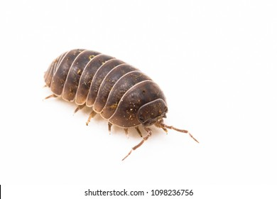 Common pillbug or sow bug, Armadillidium sp, white background and room for text