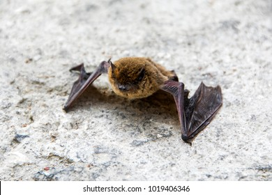 common pipistrelle (Pipistrellus pipistrellus) a small bat with damaged wing on the ground closeup with copy space selected focus narrow depth of field
