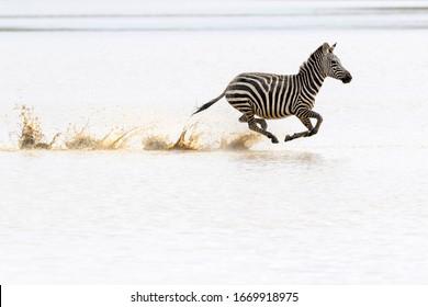Common or Plains Zebra (Equus quagga) running fast in splashing water, Ngorongoro crater national park, Tanzania
