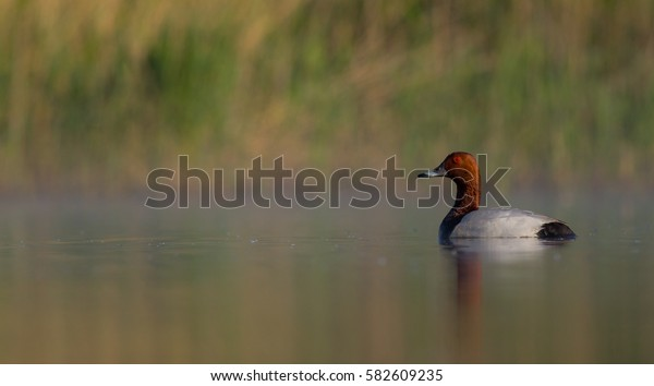 Common Pochard - Aythya ferina - at a small lake in mating season - Vilnius County, Lithuania