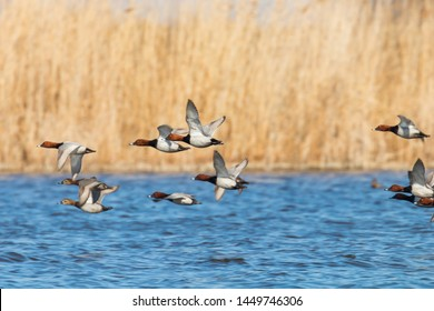 Common Pochard ducks flying over water (Aythya ferina)