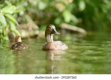 Common Pochard, Pochard - female with nestlings
