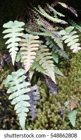 Common Polypody and Button fern clumps on a humid cliff wall