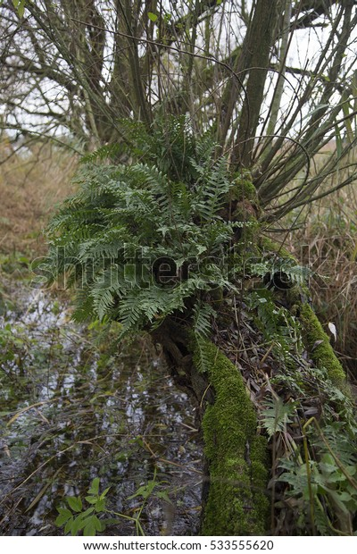 Common polypody (Polypodium vulgare) growing in pollard willow