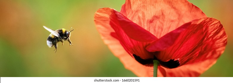 Common Poppy (Papaver rhoeas) and flying Large Earth Bumblebee