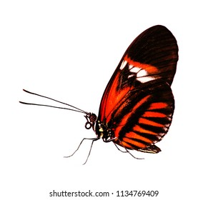 The common postman butterfly, Heliconius melpomene, with coral red piano key pattern on black is isolated on white background.