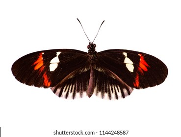 The common postman butterfly, Heliconius melpomene, with red and white spots and a piano key pattern on black is isolated on white background. Spread wings.