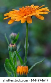 Common Pot English Scottish Garden Marigold Calendula Officinalis Flower Also Called Ruddles Or Shining Herb Close Up In Horizontal Format In Permaculture Gardening