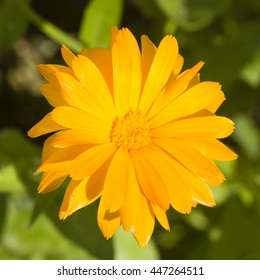 Common or Pot Marigold, Calendula officinalis, flower macro with soft edges, selective focus, shallow DOF