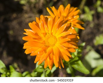 Common or Pot Marigold, Calendula officinalis, flower macro with soft edges, selective focus, shallow DOF.