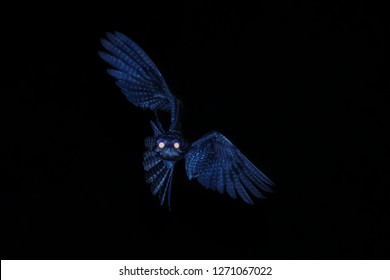 Common Potoo,Nyctibius griseus, nocturnal bird with yellow eyes in flight during night, hunting for insects. Outstretched wings, wildlife scene, exotic adventure in Caribic