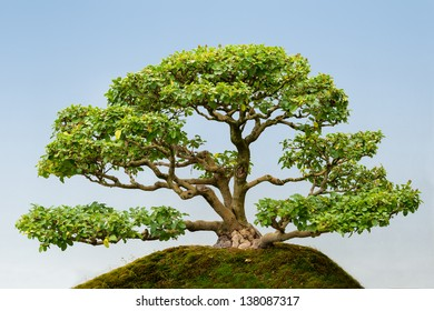 Common Privet Clump (Ligustrum vulgare) bonsai tree