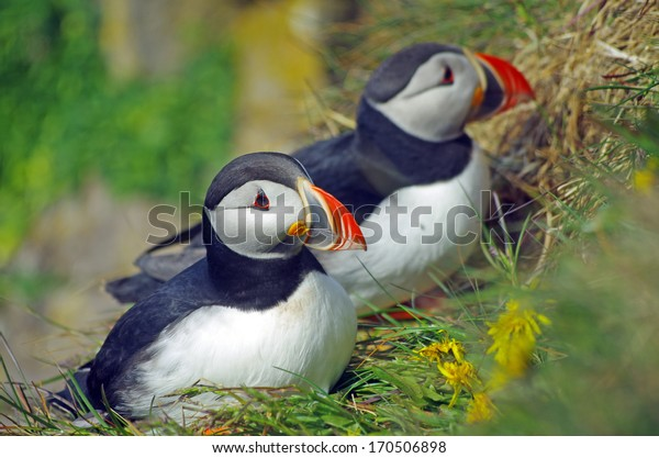 common puffin, Fratercula arctica, Iceland