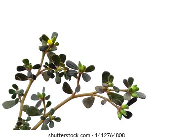 Common purslane leaves or Common garden purslane leaf Isolated on white background. Phak Bia Yai or Pigweed purslane on white background.