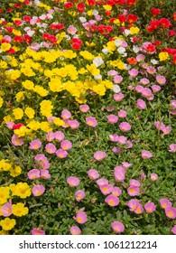 Common Purslane, Pigweed, Little Hogweed flowers