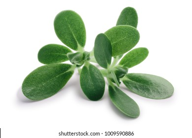 Common purslane (Portulaca oleracea) leaves. Clipping paths, shadow separated